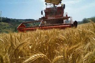 العراق يفقد 30% من محصول القمح بسبب الفيضانات