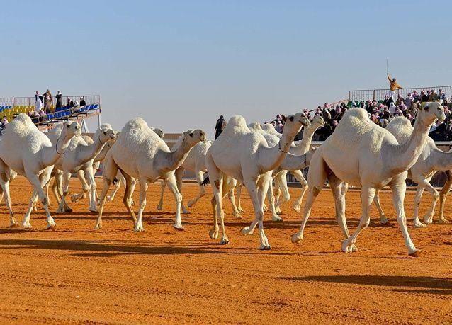 الكشف عن موعد إنطلاق مهرجان جائزة الملك عبدالعزيز لمزايين الإبل في السعودية