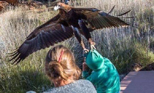 نسر من أكبر الطيور الجارحة في العالم يحاول قنص طفل في السابعة من يد امه في استراليا