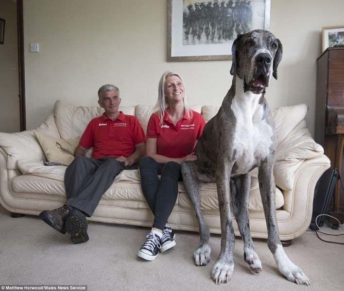 موسوعة غينينس تعتمد قريبا صاحب لقب أطول كلب في العالم