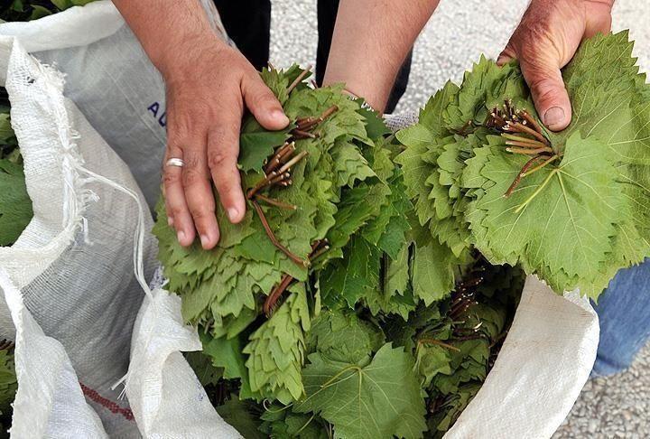 دارسة فلسطينية: ورق العنب يكبح نمو خلايا سرطان الرئة
