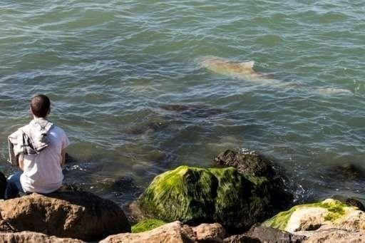 ظاهرة غير مألوفة...أسماك القرش تتجمع قبالة ساحل فلسطين المحتلة على البحر المتوسط
