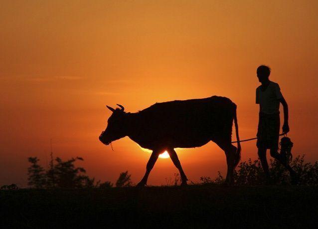 ترقيم البقر والجاموس في الهند والتي يصل عددها إلى 88 مليون