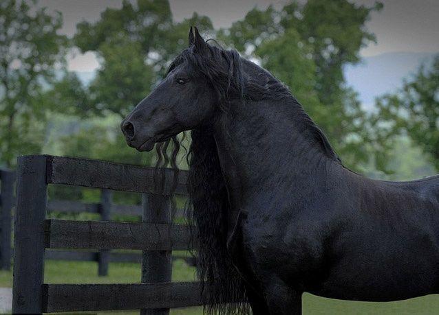 """بالصور : شاهد """"أبو غرة"""" أحد أجمل الأحصنة في العالم"""