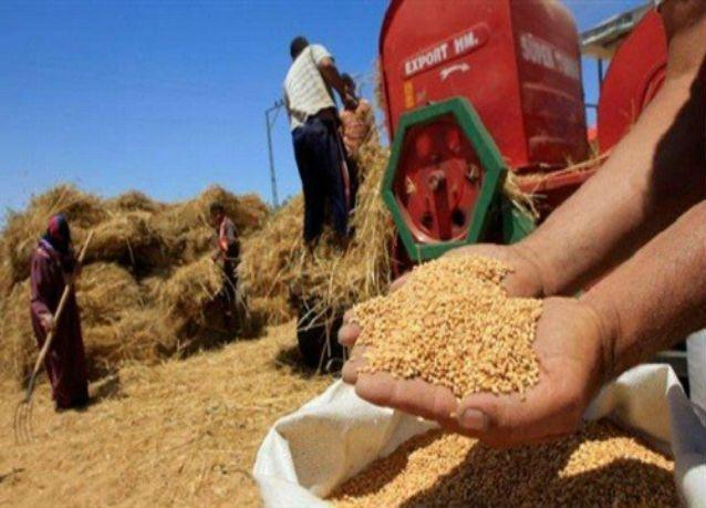 مصر تشتري نحو 5 ملايين طن قمح محلي مع انتهاء موسم التوريد اليوم