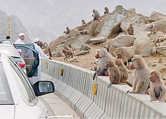 سكان مدينة سعودية في حرب مستمرة مع القردة !