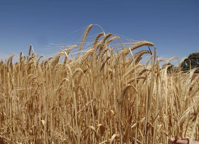 السعودية تستورد دفعة ثانية من الحبوب هذا العام