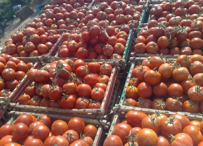 السعودية: 43% من طماطم الرياض ملوثة