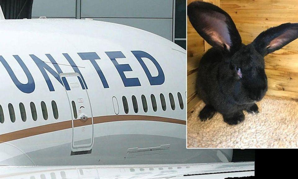 نفوق أرنب عملاق على متن رحلة ليونايتد إيرلاينز الأمريكية