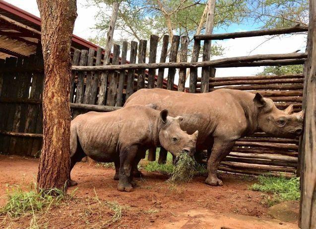 """""""الاتحاد للشحن"""" تنقل 19 من حيوان وحيد القرن المهدد بالإنقراض إلى موطنه"""