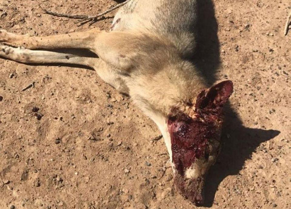 عجوز سعودي يباغت ذئباً ويقتله بفأس