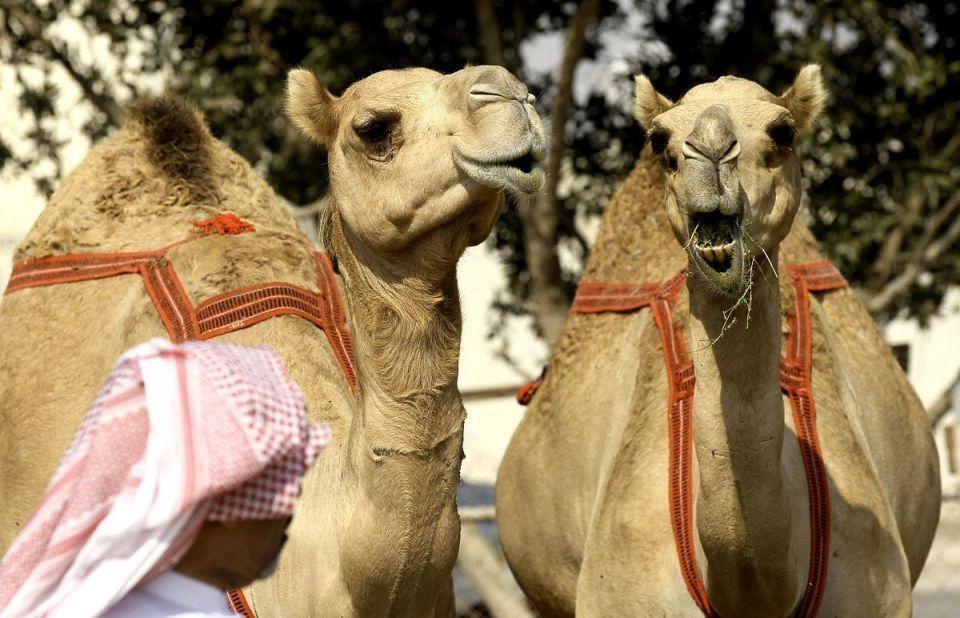 السعودية تحظر إجراء العمليات التجميلية للإبل... بينها تكبير الوجه