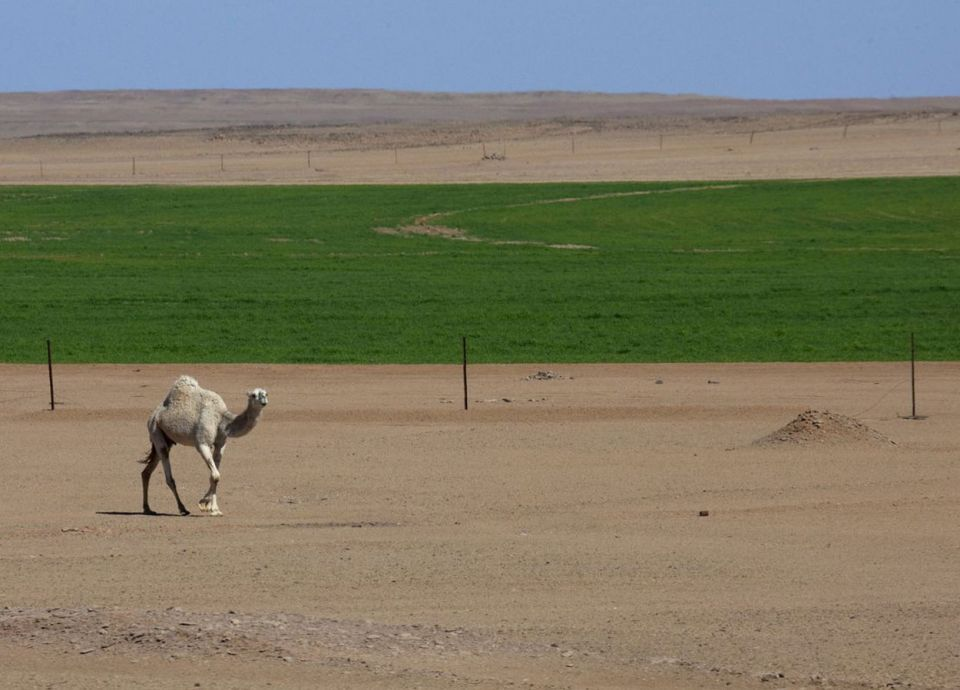 السعودية تسعى لشراء مليون طن من الشعير