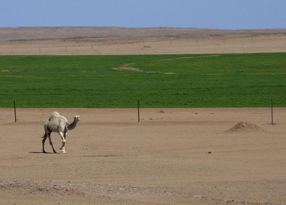 السعودية توقف زراعة الأعلاف للحفاظ على المياه