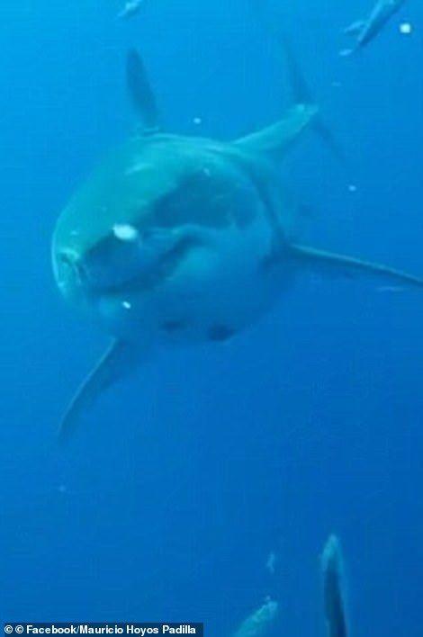 بالصور : أكبر سمكة قرش أبيض مسجلة في العالم ديب بلو