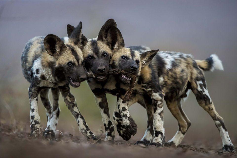 صورة لملوك الغابة تنال جائزة أفضل تصوير للحياة البرية