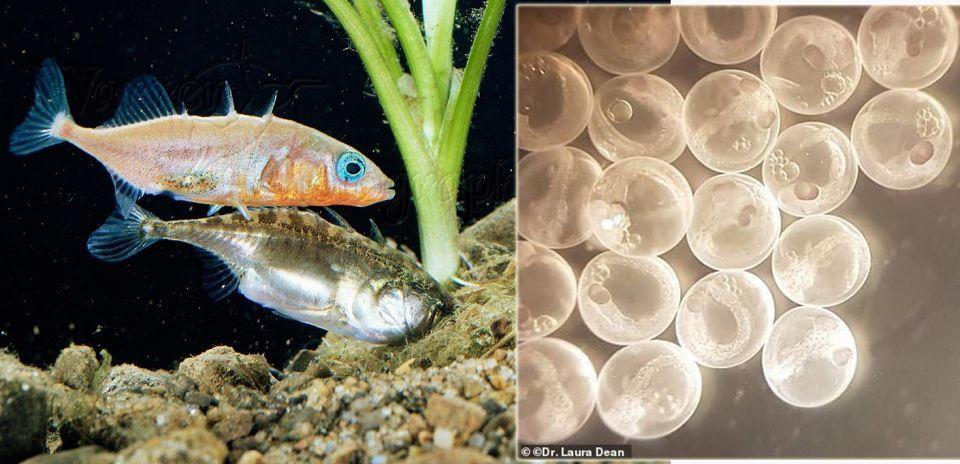 اكتشاف سمكة ولدت 45 جنين دون ذكر و تلقب بالعذراء