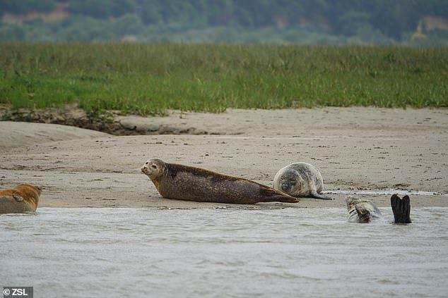 بالصور : اكتشاف عدد من جراء الفقمة في نهر التايمز بعد موتها بيولوجيا