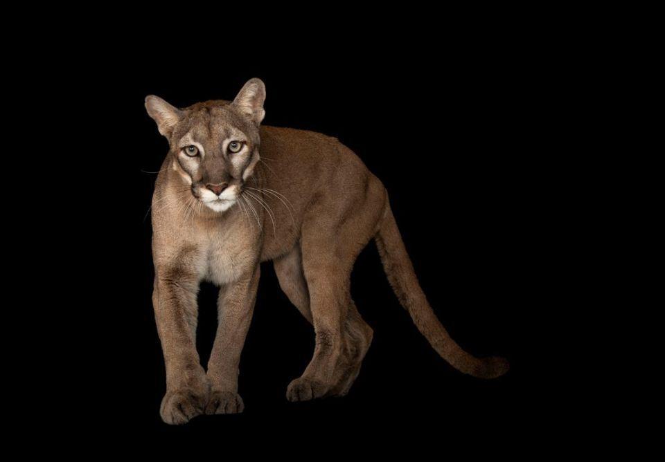 شاهد أبرز الحيوانات المعرضة للانقراض قريبا بسبب الصيد وغيره