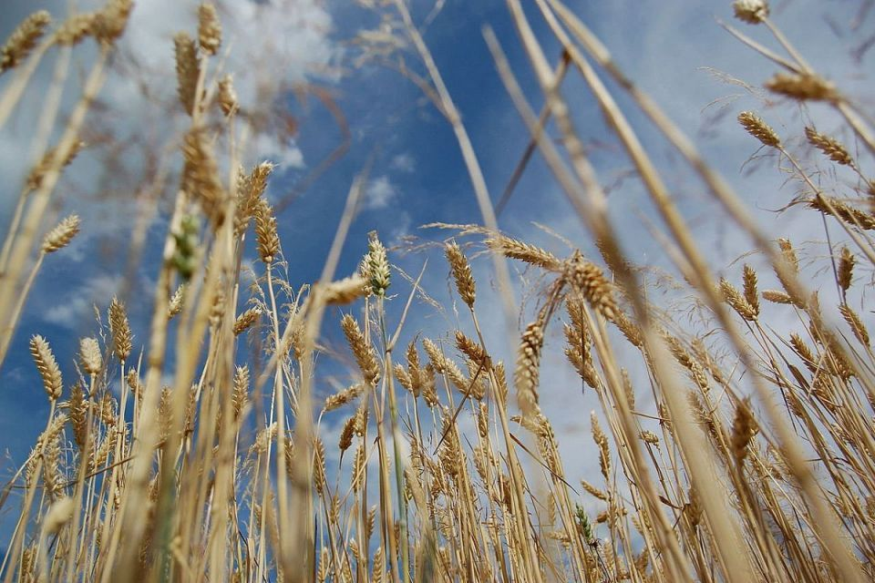 السعودية تشتري 605 آلاف طن من القمح في مناقصة