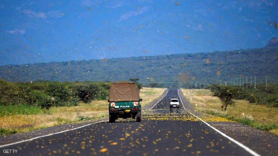بالصور : مليارات من الجراد تجتاح كينيا