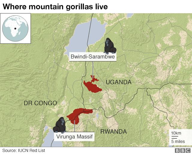 بالصور : مقتل أربعة من الغوريلا الجبلية النادرة في أوغندا