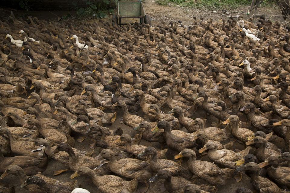 شاهد حشد الصين جيشا من البط لمكافحة الجراد